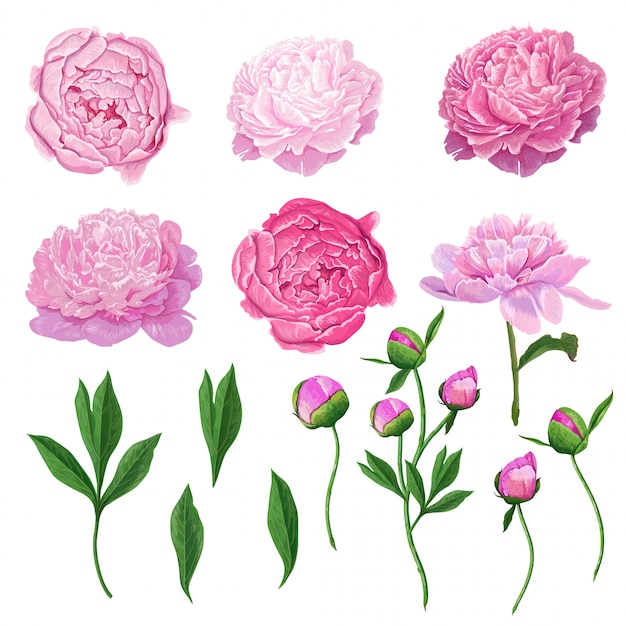 Floral elements pink blooming peony flowers Premium Vector