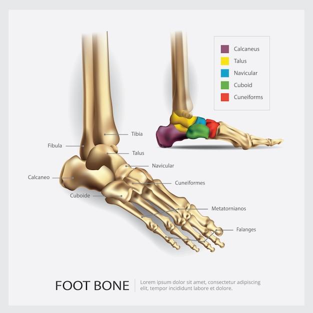 Illustrazione di anatomia dell'osso di piede Vettore gratuito