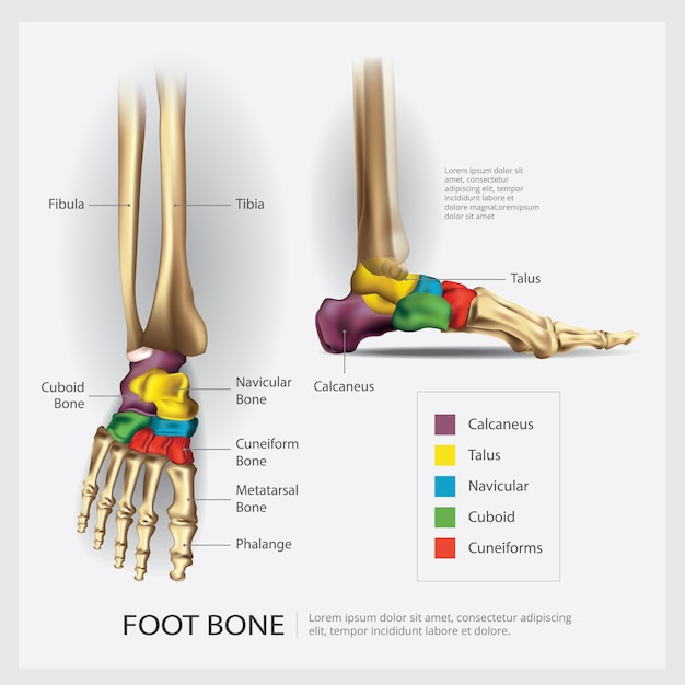 Foot bone anatomy illustration Premium Vector