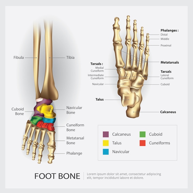 Foot bone anatomy vector illustration Premium Vector