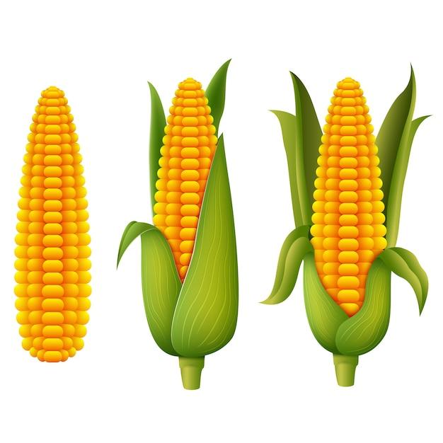 Fresh corn Premium Vector