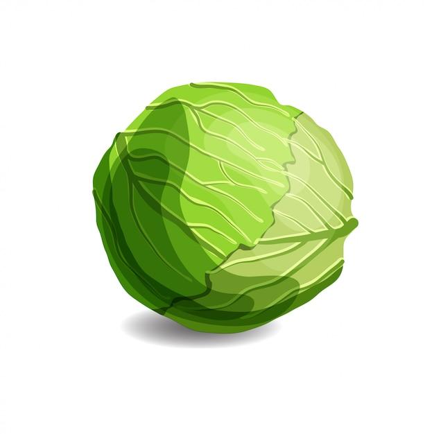 Fresh juicy green cabbage Premium Vector