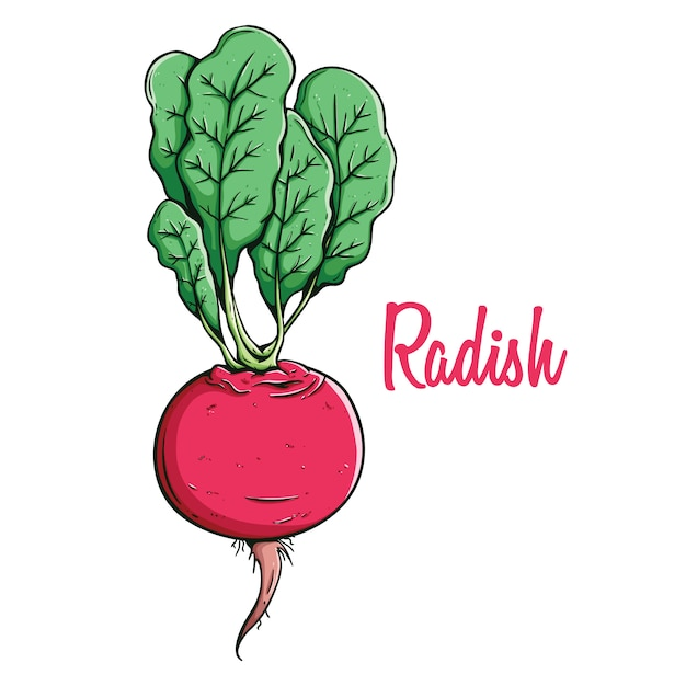 Fresh radish organic vegetable food in coloring hand drawn style ...