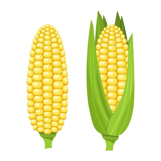 Fresh ripe corn cob. colorful illustration Premium Vector