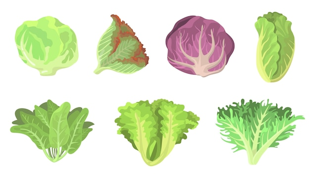 Fresh salad leaves flat illustration set. cartoon radicchio, lettuce, romaine, kale, collard, sorrel, spinach, red cabbage isolated vector illustration collection. vegetarian food and plants concept Free Vector