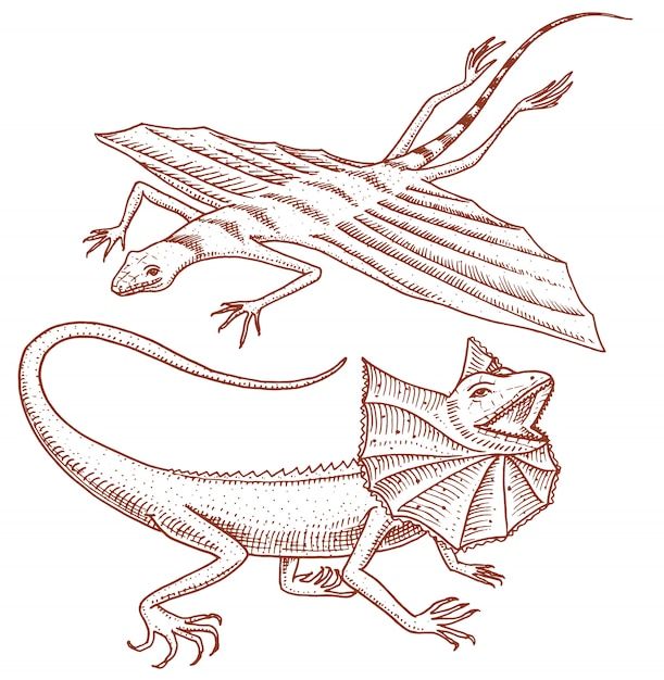 Frilled-necked lizard, flying dragon or agama in australia. wild animals in nature. Premium Vector