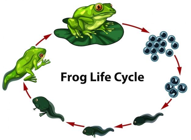 Frog life cycle digram Premium Vector
