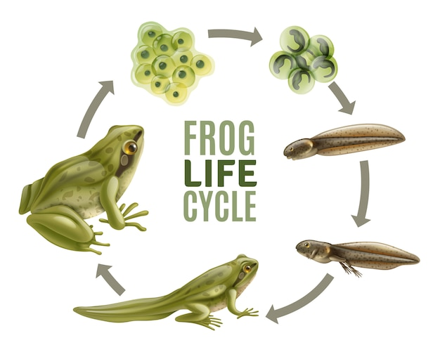 Frog life cycle stages realistic set with adult animal fertilized eggs jelly mass tadpole froglet Free Vector