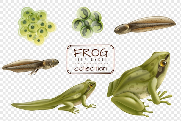 Frog life cycle stages realistic set with adult animal fertilized eggs tadpole froglet transparent Free Vector