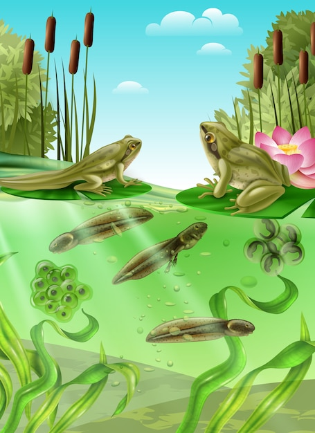 Frog life cycle water stages realistic poster with adult amphibian eggs mass tadpole with legs Free Vector
