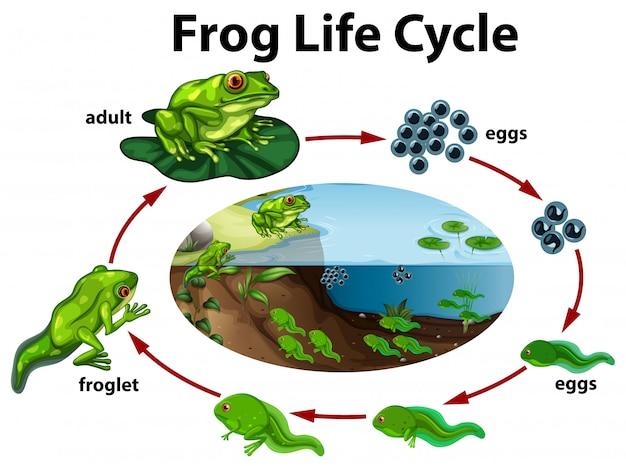 frog life cycle 1308 17083
