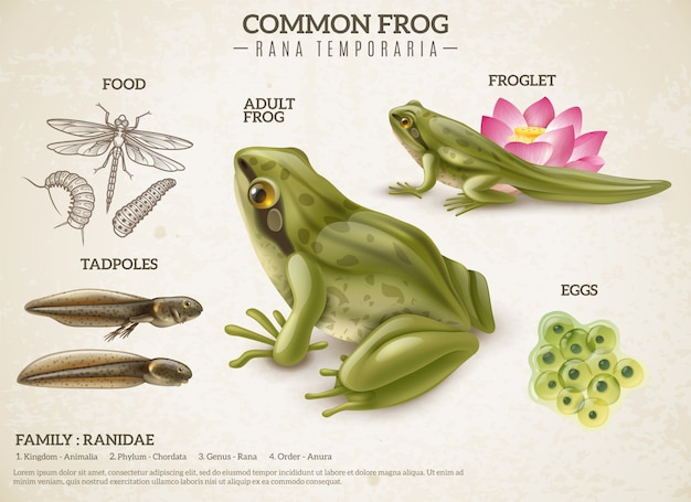 Frog life style retro biology science educative poster with adult animal eggs mass tadpoles froglets Free Vector