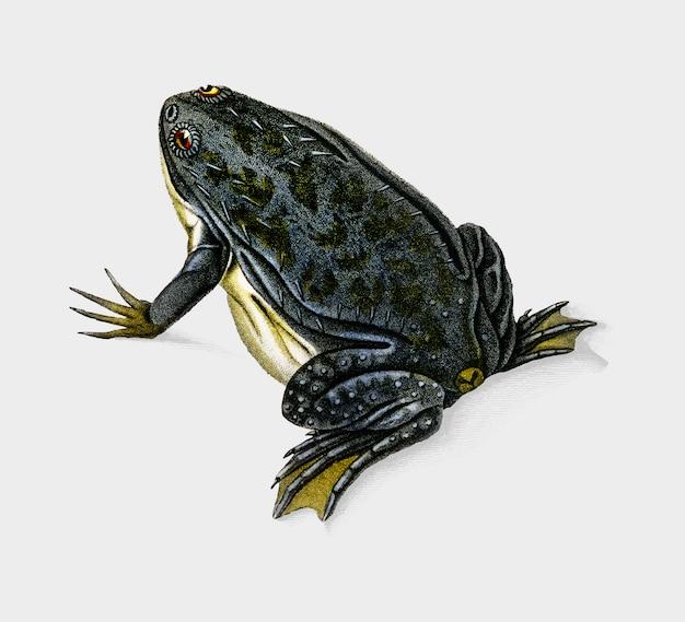 Frog Free Vector