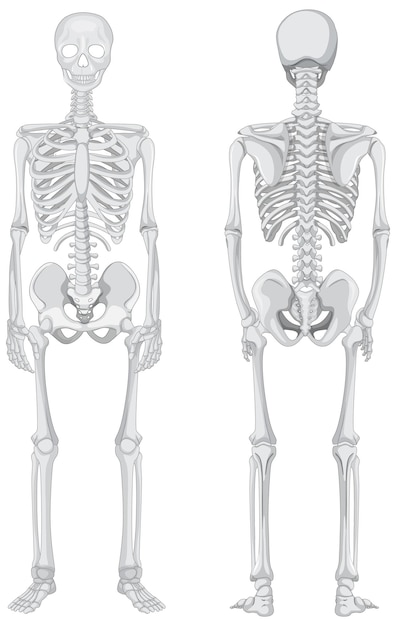 Vista anteriore e posteriore dello scheletro isolato su priorità bassa bianca Vettore gratuito