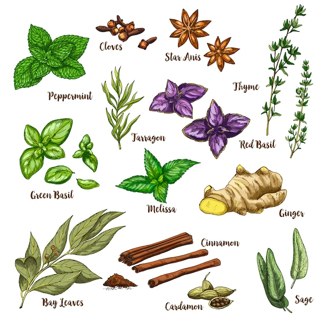 Full color realistic sketch illustration of culinary herbs and spices Premium Vector