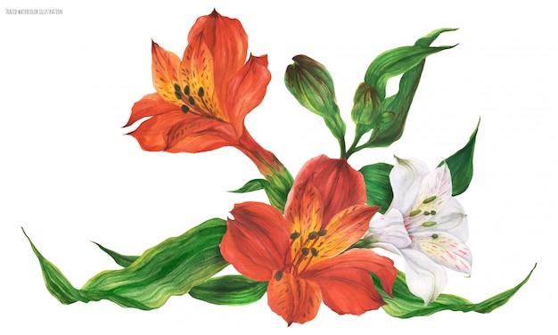 赤と白のペルーのユリの花とガーランドビネット Premiumベクター
