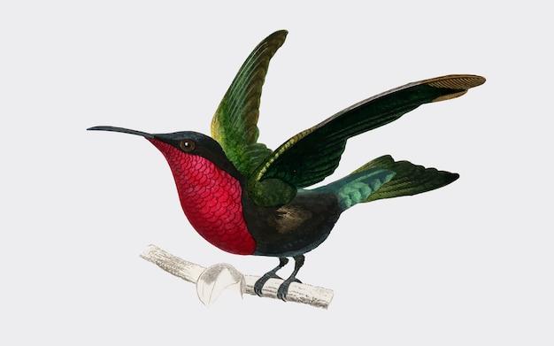 Garnet-throated hummingbird Free Vector