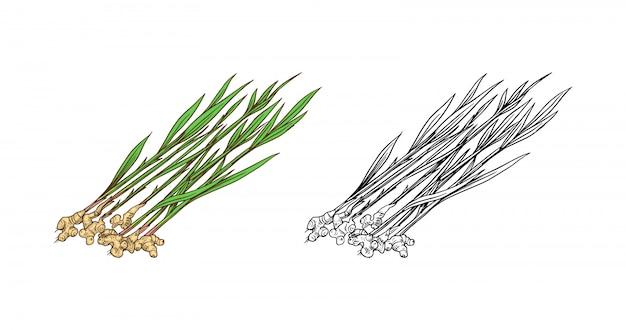 Ginger root, chopped rhizome, fresh plant. Premium Vector
