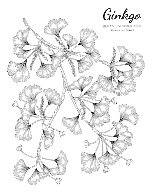 Ginkgo hand drawn botanical illustration with line art on white backgrounds. Premium Vector