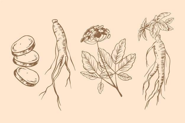 高麗人参の植物コレクション描画テーマ 無料ベクター