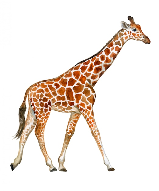 Giraffe in watercolor Premium Vector