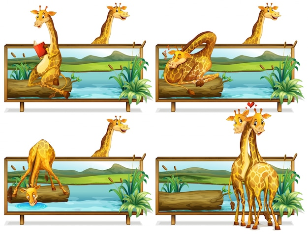 Giraffes in the wooden frames