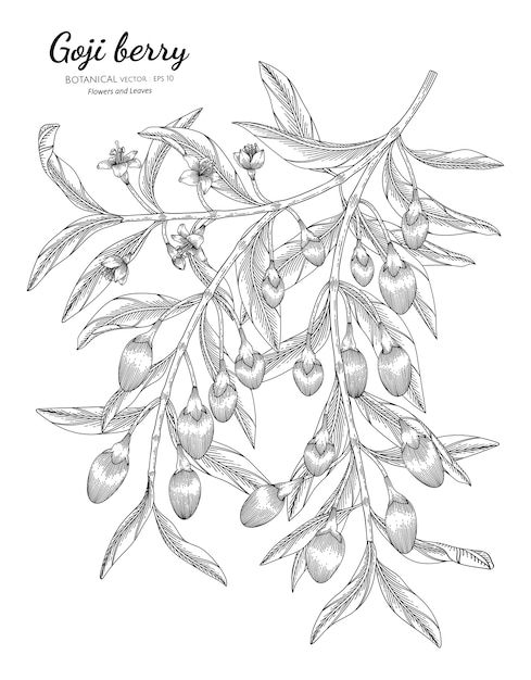 Goji berry fruit hand drawn botanical illustration with line art on white backgrounds. Premium Vector