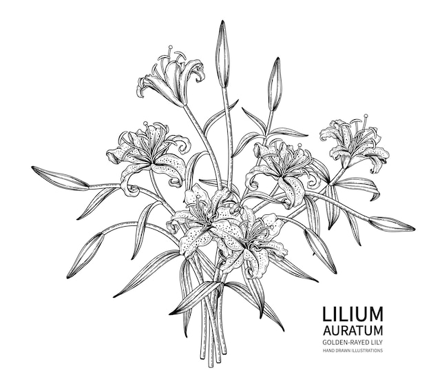 황금 광선 백합 꽃 (lilium auratum) 그림. 무료 벡터