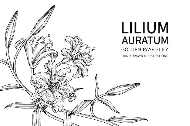 Golden-rayed lily fiore (lilium auratum) illustrazioni botaniche disegnate a mano. Vettore gratuito