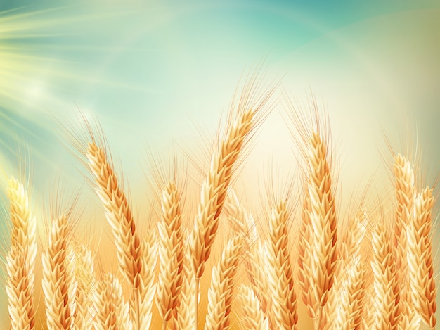 黄金の麦畑と晴れた日。 Premiumベクター