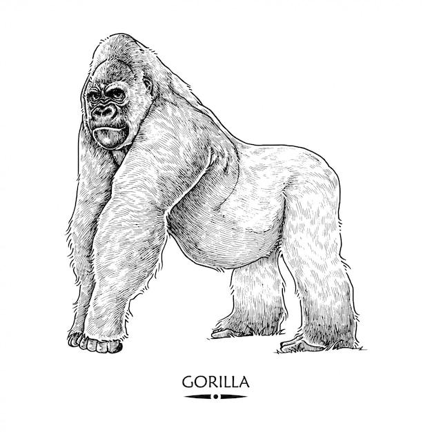 Gorilla Premium Vector
