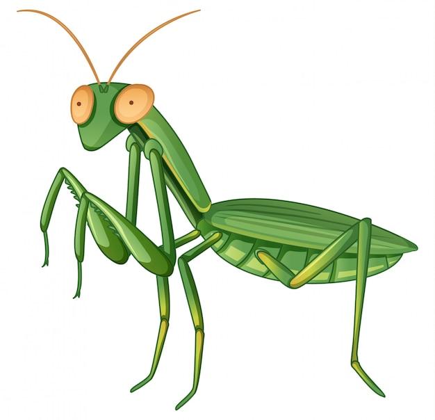 Gpraying mantis on white Free Vector