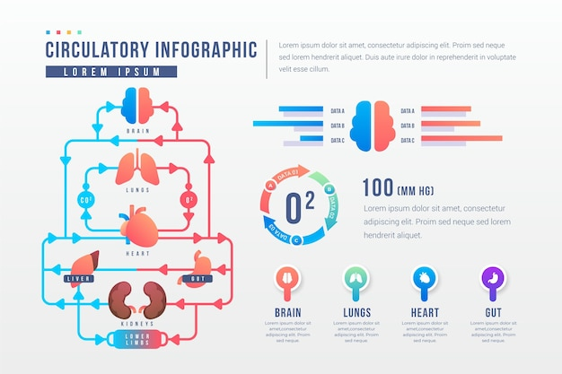Gradient circulatory system infographic template Free Vector