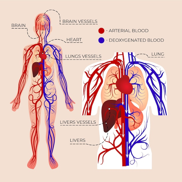 Gradient circulatory system infographic Free Vector