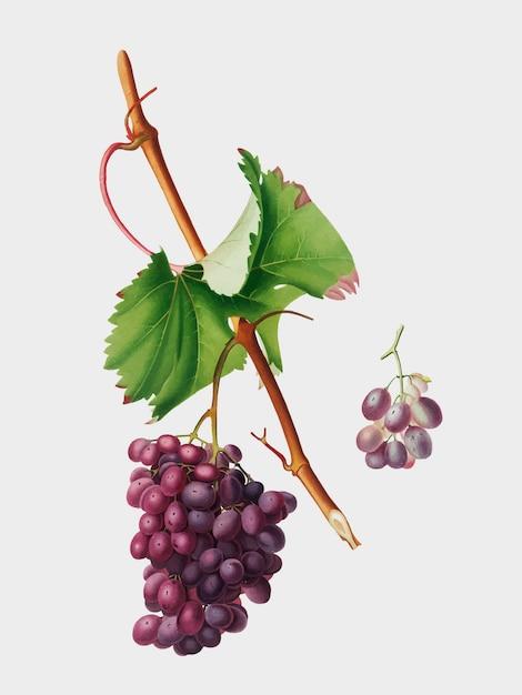 Grape barbarossa from pomona italiana illustration Free Vector