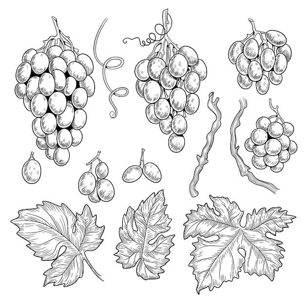 Виноградный каракули. вино символы для графики меню ресторана, гравировка виноградных листьев вектор рисованной коллекции. виноградная лоза для винтажной иллюстрации меню ресторана Premium векторы