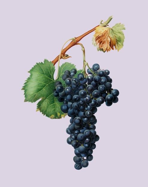 Grape spanna from pomona italiana illustration Free Vector