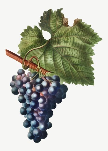 Grape vine Free Vector