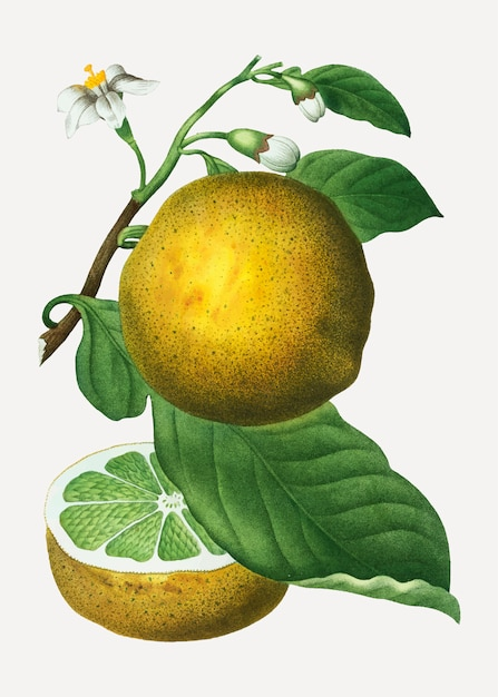 Grapefruit on a branch Free Vector