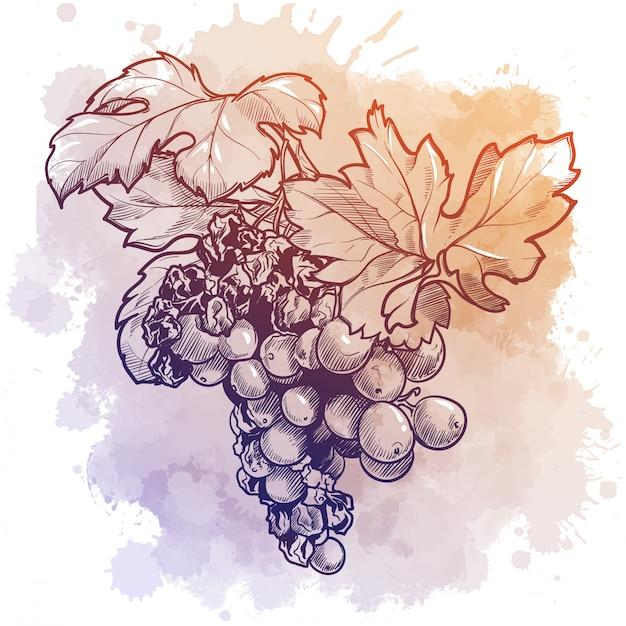 Гроздь винограда с листьями. линейный рисунок, изолированные на акварель текстурированные Premium векторы