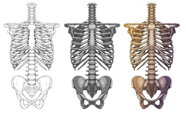 Graphic human skeleton thorax bones Premium Vector