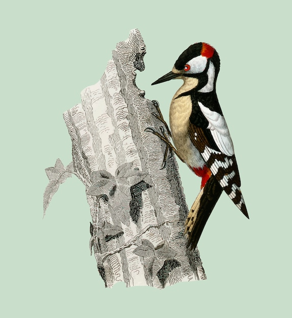Great spotted woodpecker (picus major) illustrated by charles dessalines d'orbigny (1806-1876). Free Vector