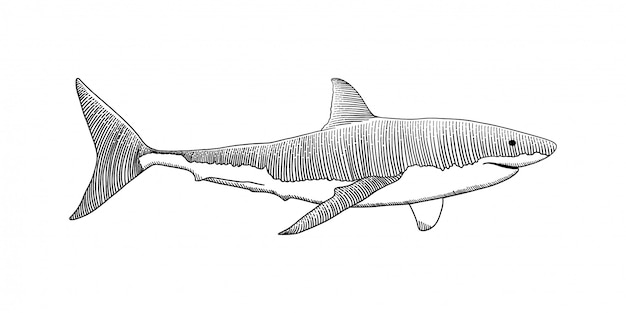 Great white shark hand drawing vintage engraving illustration Premium Vector