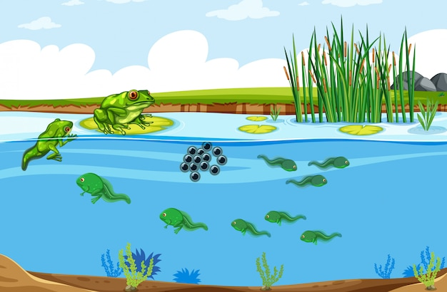 Green frog life cycle scene Free Vector