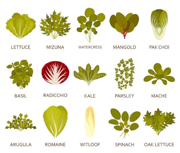 Green salad plants  on the white background.  illustration. Premium Vector