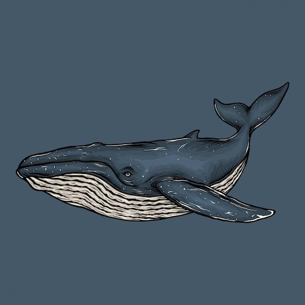 手描きのシロナガスクジラのイラスト Premiumベクター