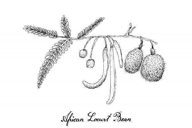 Hand drawn of african locust bean Premium Vector