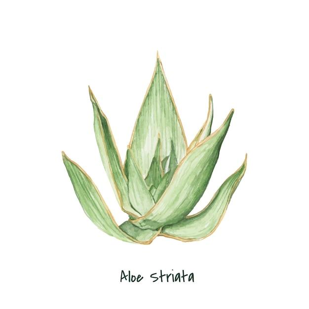 Hand drawn aloe striata plant Free Vector