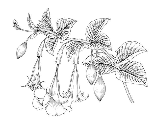 Рука нарисованные ангела труба цветок (brugmansia), изолированные на белом фоне. Premium векторы