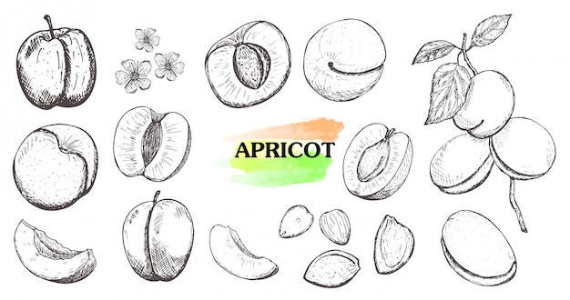 Hand drawn apricot set isolated on white background. Premium Vector